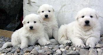 Weisse Schaferhunde